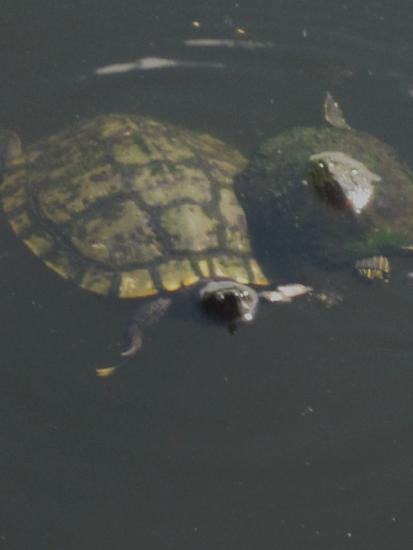 Turtles in the Lake - The Breakers